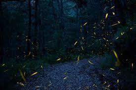 Las luciérnagas también pueden estar en riesgo a causa del ecoturismo