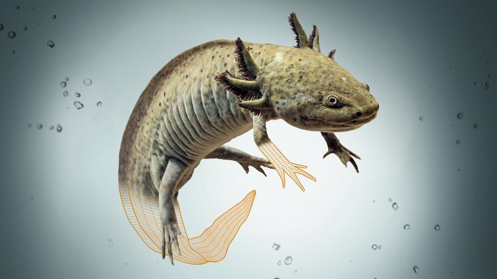 Hay distintos tipos de este anfibio   Foto: Gaceta UNAM